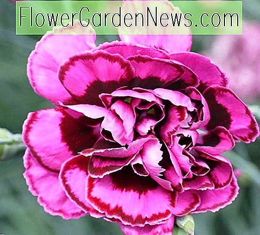 Dianthus Plumarius 'Laced Monach', Modern Pink 'Laced Monarch', Pink 'Laced Monarch', Laced Pink 'Laced Monarch', Cottage Pink 'Laced Monach', Pink Garden Pink, mehrjährige Sweet William, mehrjährige Dianthus