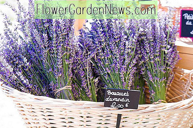 Mid to Late Summer Blooming Lavenders