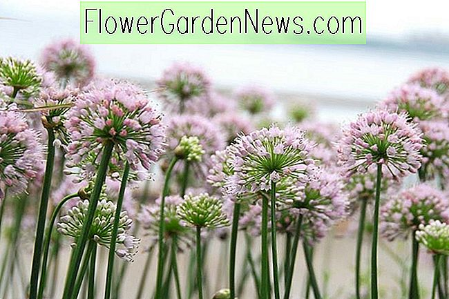 Allium 'Summer Beauty' (Zierlauch)