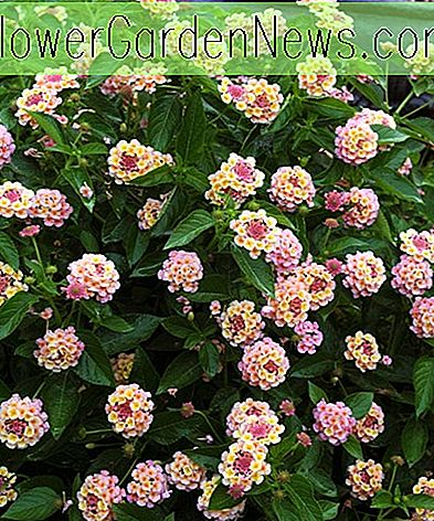 Lantana camara Landmark ™ Peach Sunrise