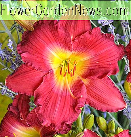 Hemerocallis 'Romantic Returns' (Reblooming Daylily)