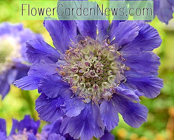 Scabiosa Caucasica 'Fama Deep Blue' (Pincushion Flower)