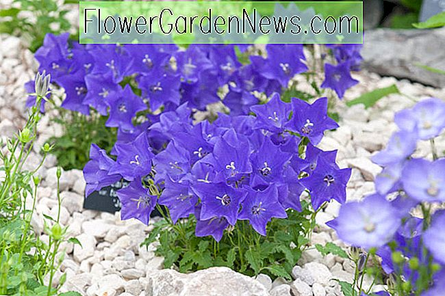 Campanula carpatica var.  turbinata 'Jewel' (Carpathian Bellflower)