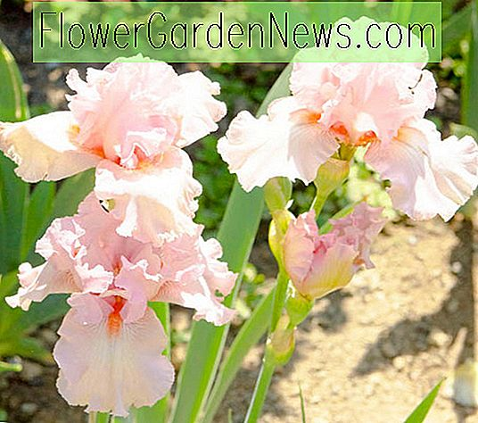 Iris 'Lovely Kay' (Bearded Iris)
