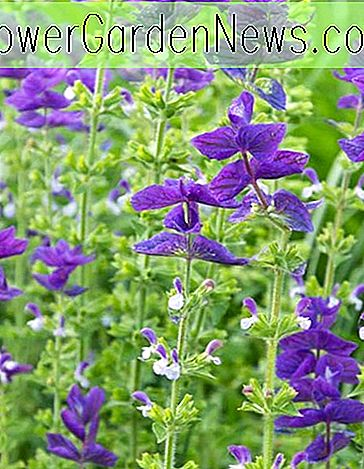 Salvia horminum 'Blue Monday' (Annual Sage)