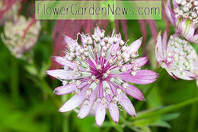 Astrantia major 'Penny's Pink' (Great Masterwort)