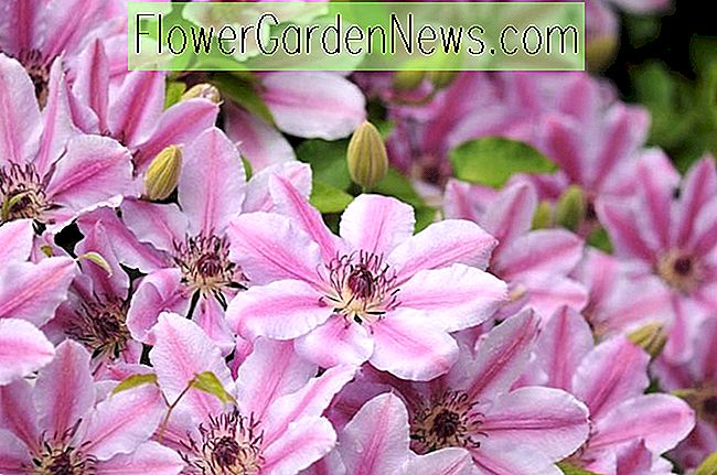 Clematis 'Nelly Moser' (Tidlig Large-Flowered Clematis)