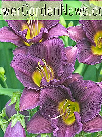 Hemerocallis 'Little Grapette' (Daylily)