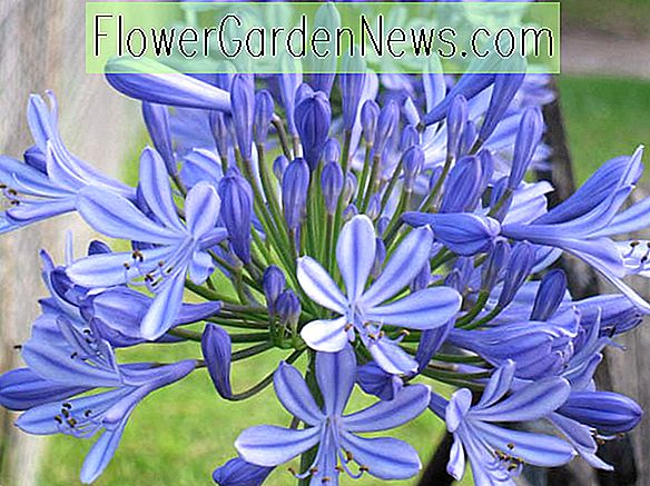 Agapanthus Headbourne Hybrids, Lily of the Nile Headbourne Hybrids, Afrikaanse Lily Headbourne Hybrids, Blauwe bloem, Blauwe Agapanthus, Blauwe Afrikaanse lelie