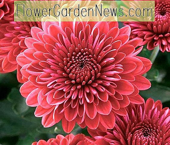 Chrysantheme 'Jolly Cheryl'