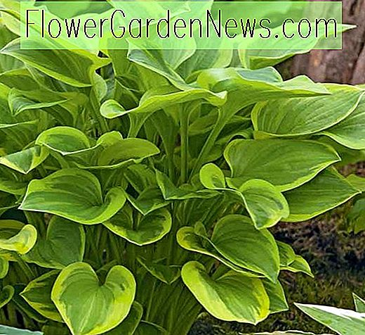 Hosta 'Golden Tiara' (Plantain Lily)