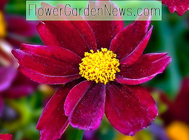 Coreopsis 'Mercury Rising' (Tickseed)