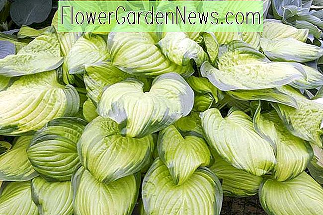 Hosta 'Stained Glass' (Weegbree Lily)