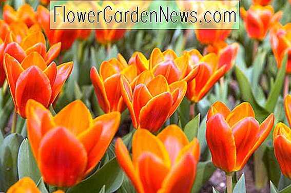 Tulipa 'Early Harvest' (Kaufmanniana Tulip)
