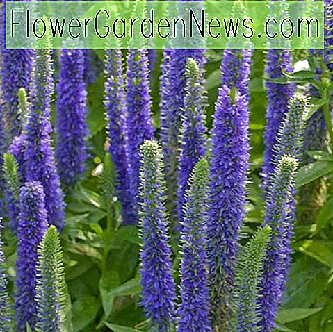 Veronica spicata 'Royal Candles' (Spike Speedwell)