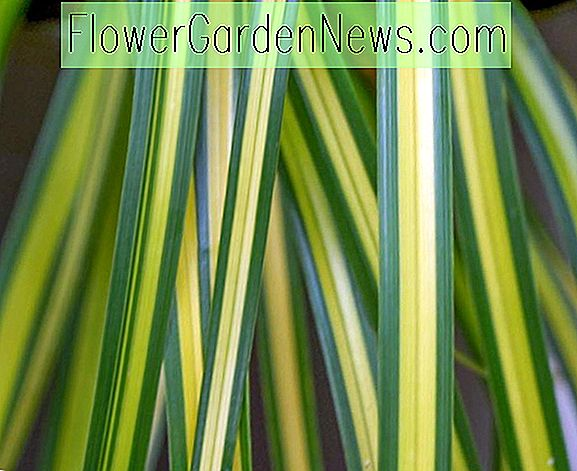 Carex oshimensis 'Eversheen' (japansk sedge)