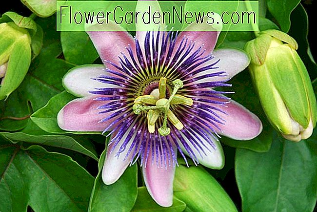 Passiflora 'Blue Bouquet' (Passion Flower)