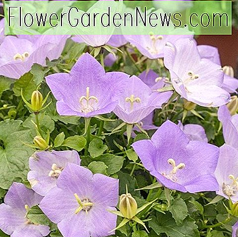 Campanula carpatica 'Deep Blue Clips' (Carpathian Bellflower)