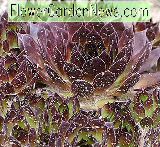 Sempervivum 'Black' (Hens and Chicks)