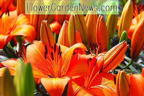 Dwarf Asiatic Hybrid Lilies - Pixie Series