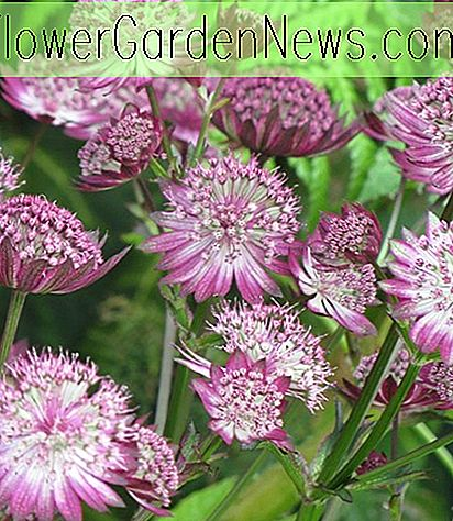 Astrantia major 'Gill Richardson' (Groot oudkruid)