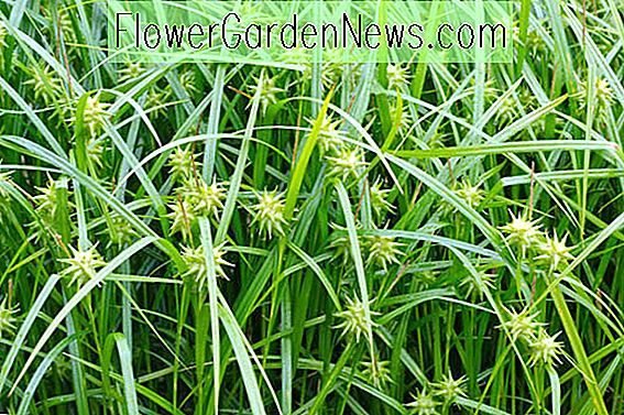 Carex greyi (Mace Sedge)