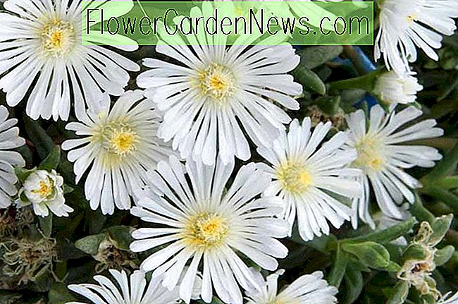 Delosperma 'Wheels of Wonder - White Wonder' (ijsplant)
