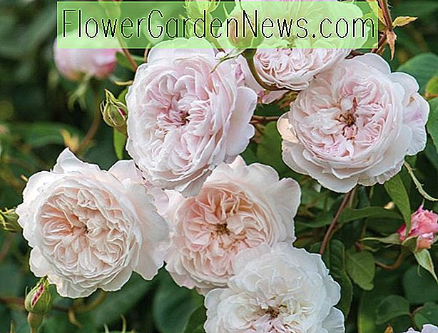 Rosa 'The Albrighton Rambler' (Ausmobile)
