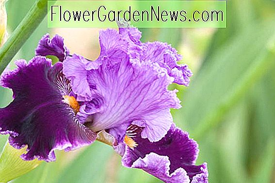 Iris 'About Town' (Bearded Iris)