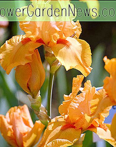 Iris 'Maid Of Orange' (Schwertlilie)