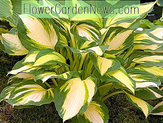Hosta 'Color Festival' (Wegerich-Lilie)