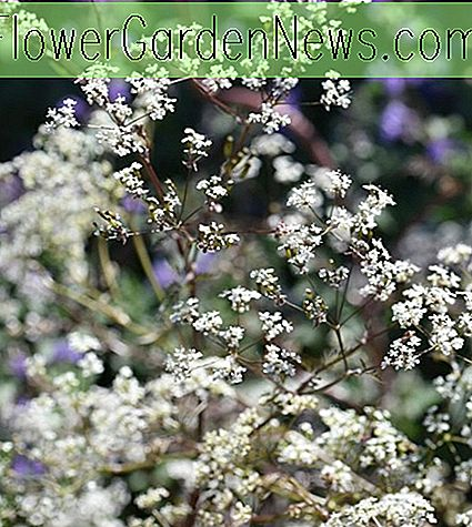 Anthriscus sylvestris 'Ravenswing' (Kuh-Petersilie)