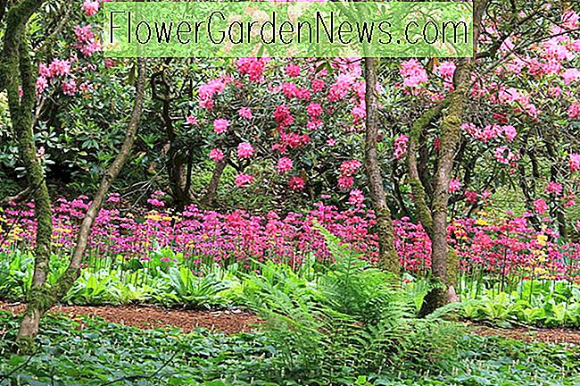 Great Ferns als Companion Plants voor Azaleas en Rhododendrons