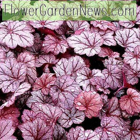 Heuchera 'Georgia Plum' (Korallenglocken)
