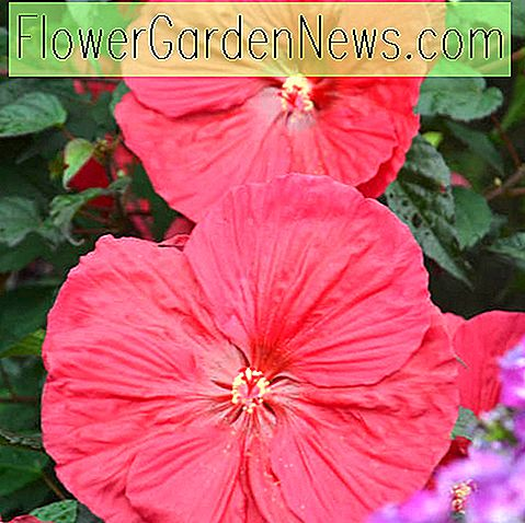 Hibiscus 'Mars Madness' (Rose Mallow)