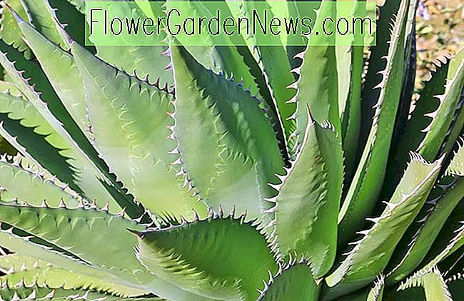 Agave shawii (Agave Shaw)