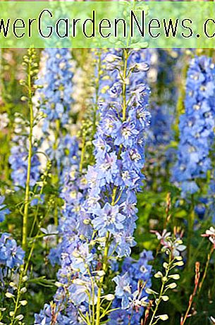 Delphinium 'Magic Fountain Sky Blue' (Rittersporn)
