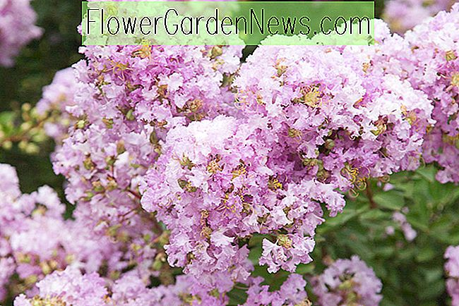 Lagerstroemia 'Early Bird Lavender' (Krappmyrte)