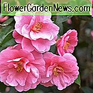 Camellia x Williamsii 'Donation', Camellia 'Donation', 'Donation' Camellia, Vinterblomstrende Camellias, Forår Blooming Camellias, Mid Season Camellias, Pink Flowers, Pink Camellias