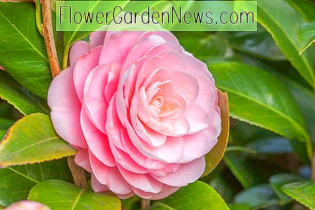 Long Blooming Camellias