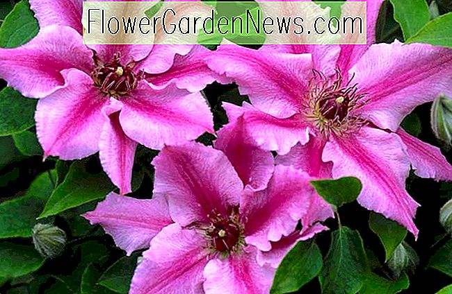 Clematis 'Cherokee' (Early Large-Flowered Clematis)