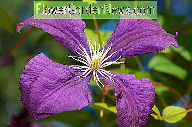 Clematis 'Jackmanii Superba' (Late Large-Flowered Clematis)
