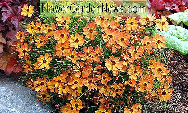 Coreopsis 'Mango Punch' (Tickseed)