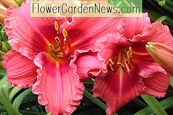 Hemerocallis 'Gordon Biggs' (Daylily)