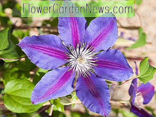 Clematis 'Anna Louise', großblumige Clematis 'Anna Louise', Clematis 'Evithree', Gruppe 2 Clematis, rosa Clematis, Clematis Rebe, Clematis Plant, Blumen Reben, Clematis Flower, Clematis Pruning,