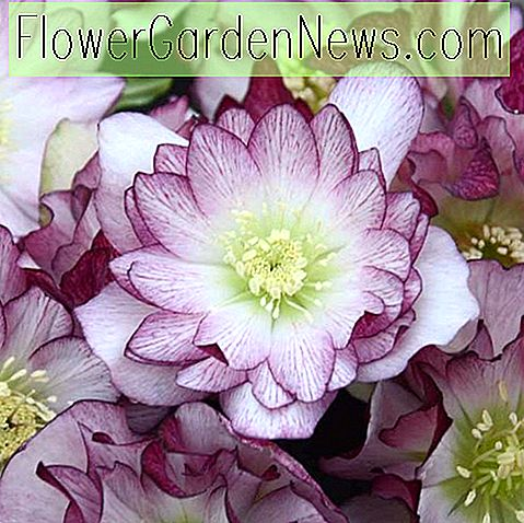Helleborus 'Blushing Bridesmaid' (Hellébore)