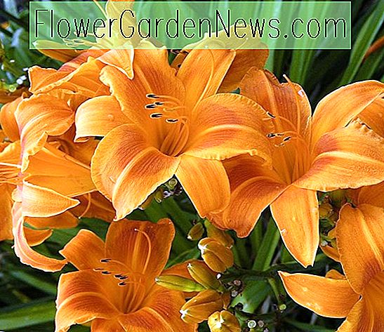 Hemerocallis 'Rocket City' (Taglilie)