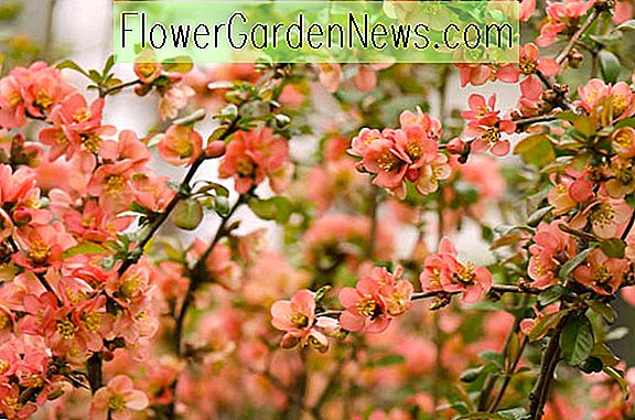 Chaenomeles japonica (ญี่ปุ่น Quince)
