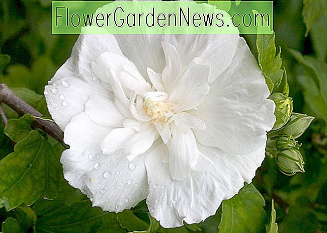Hibiscus syriacus 'White Chiffon' (Rose of Sharon)