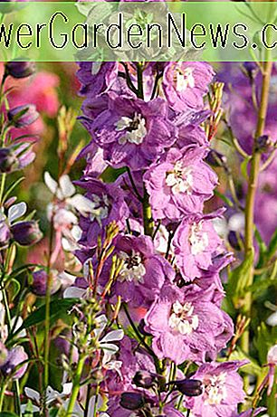 Delphinium 'Magic Fountains', Delphinium x Elatum 'Magic Fountain' Serie, Delphinium 'Magic Fountains' Serie, Delphinium 'Magic Fountains', Delphinium Elatum 'Magic Fountains', Weiße Blumen